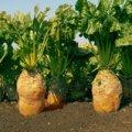Семена свеклы кормовой Урсус Поли (Желтый)