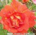 Розы плетистые (вьющиеся) и парковые