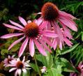 Эхинацея пурпурная, семена