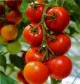 Рассада томатов ( помидора )