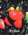 Саженцы яблони Слава Рубин (зимові)