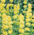 Горечавка жёлтая (корень)
