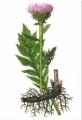 Левзея сафлоровидная (корень)