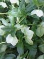 Морозник кавказский (корень)