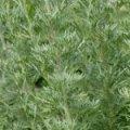 Полынь горькая,трава.Полин гіркий,трава.