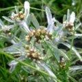Сушеница топяная,трава.Сухоцвіт багновий,трава.