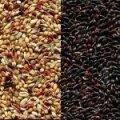 Семена суданской травы Белявка
