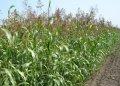 Семена суданской травы Белявка на зеленый корм и сено