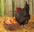 BVD para kurey de las gallinas ponedoras 10 %