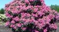 Вересовые растения
