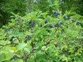 Жимолость (Камчатська ягода)