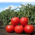 Semillas del tomate KS 829 F1 las firmas Kitan