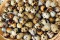 Инкубацыонные яйца перепелов разных пород