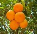 Египетский апельсин