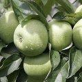 Cаженцы яблони Семеренко