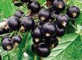 Саженцы смородины черной сорт
