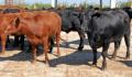 Коровы племенные из украинских хозяйств, из-за рубежа.