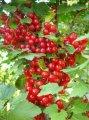 Реализация плодовых растений районированные сорта
