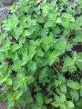 Реализация пряной травы - свежая мята