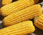Гибрид кукурузы Днепровский 257(ФАО 250), Солонянский