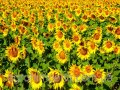 Семена подсолнечника НС-Сумо-2018 стандарт
