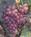 Черенки столового винограда