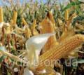 Оржица 237 МВ ,семена кукурузы лидер среди Украинских гибридов