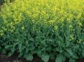 Семена ярового рапса гибрид PR45H73