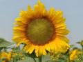 Семена подсолнуха НС Таурус (под Евролайтнинг)