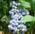Черника Нордленд (растение в контейнере) (ОКН-296)