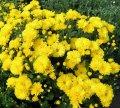 Хризантема Златовласка (за 3 шт. в одном горшке) (ОКН-439)