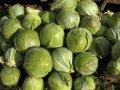 Фермерское хозяйство реализует капусту 2 сорта