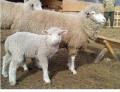 Полнорационные комбикорма, премикс и БВД для овец