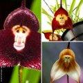 Семена орхидеи с мордочкой обезьяны микс СУПЕР АКЦИЯ 44 грн 30 шт