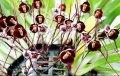 Семена орхидеи с мордочкой обезьяны микс СУПЕР АКЦИЯ 20 грн 10 шт вместо 28грн