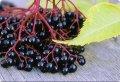 Elderberry czarny na eksport