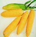 Семена кукурузы Леженд F1 Clause 1000г