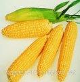 Семена кукурузы Леженд F1 Clause 10000г