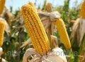 Семена кукурузы ПР39Ф58