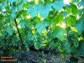 Саженцы винограда сверхранних сортов  Элегант сверхранний