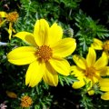 Семена квітів Биденс Ауреа 0,2 г.