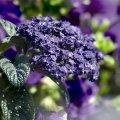 Семена квітів Геліотроп Морський карлик 0,05 г. синій
