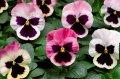 Семена цветов виолы Карма F1 100 шт. розовый с глазком