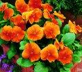 Семена цветов виолы Карма F1 100 шт. темно-оранжевый