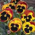 Семена цветов виолы Карма F1 100 шт. фаер