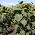 Семена соняшника Опера ПР