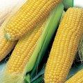 Кукурудза гибридная Зуаніто Saaten-Union