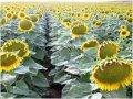 ХЕЛАТНОЕ МИКРО-УДОБРЕНИЕ  Буряк  Зерновий  Олійний  Кукурудза   Бобові  Картопля