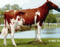 Сперма быков производителей в ассортименте