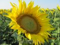 Семена подсолнечника Украинский F1